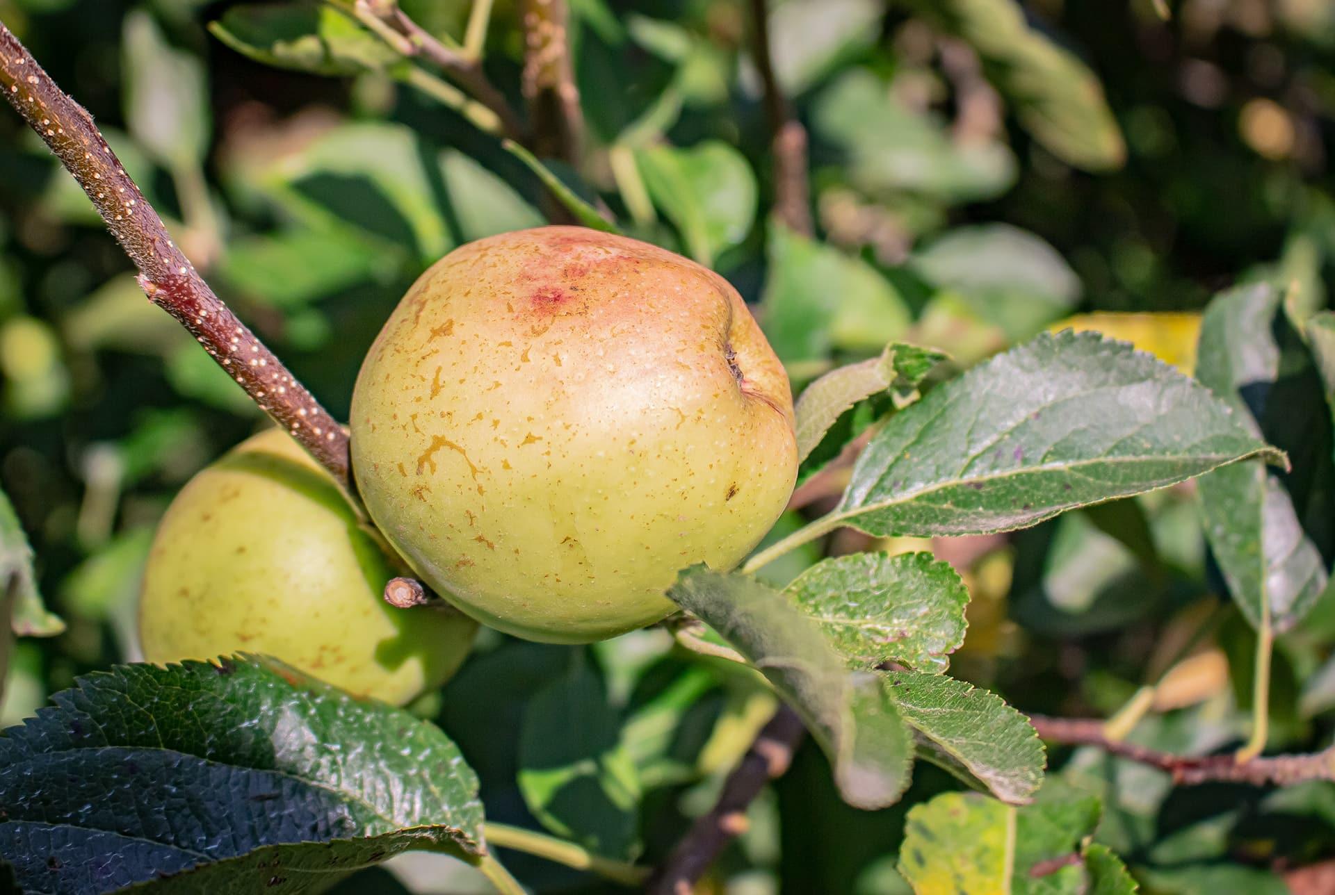 Manzanas para la sidra Carral: golden delicius