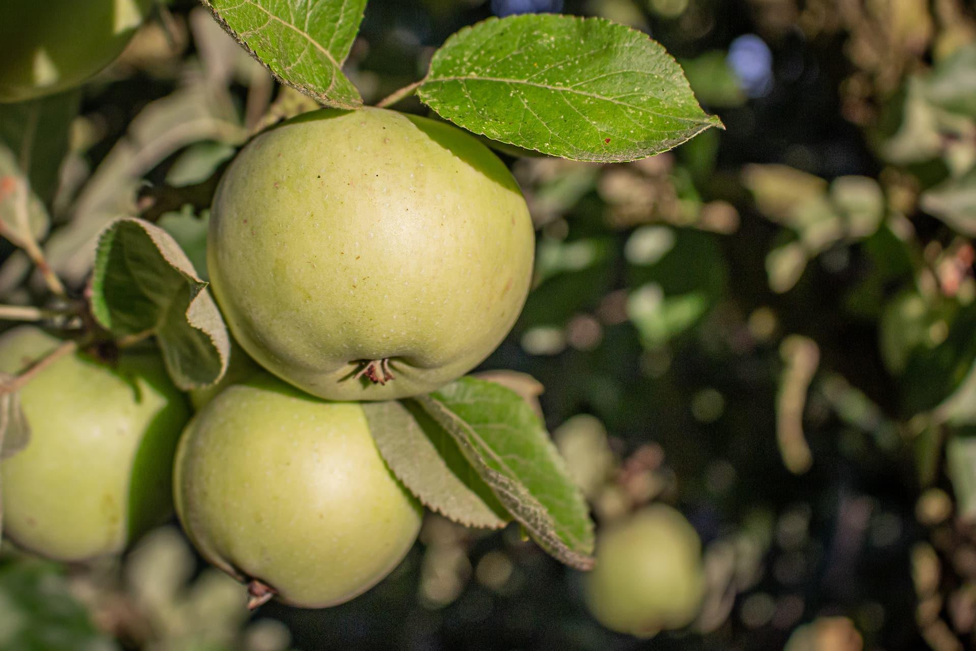 Manzanas para la sidra Carral: morro de liebre