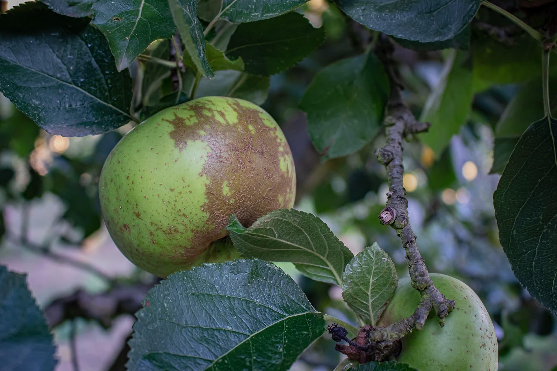Manzanas para la sidra Carral: reineta blanca del Canadá
