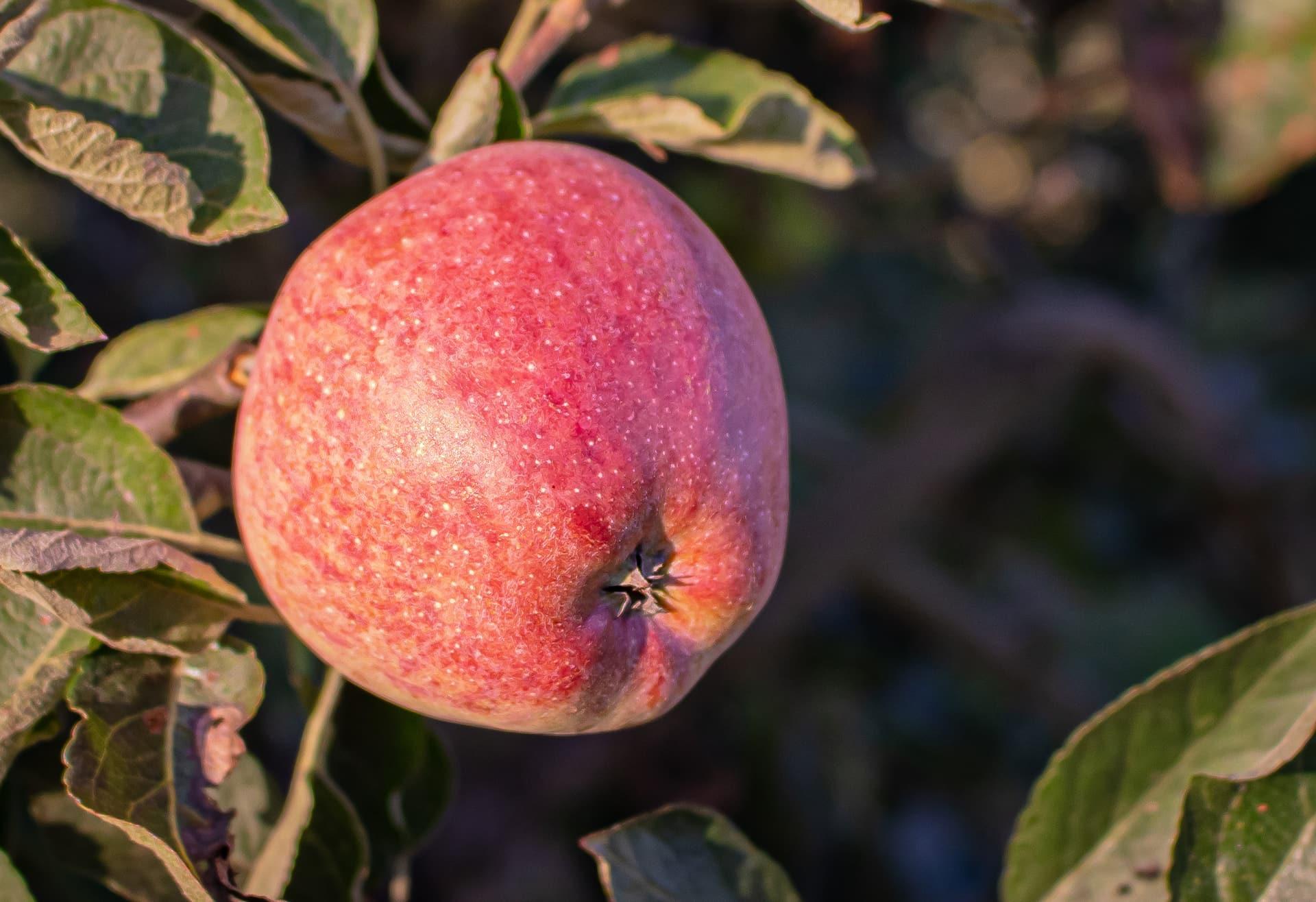 Manzanas para la sidra Carral: Starkin