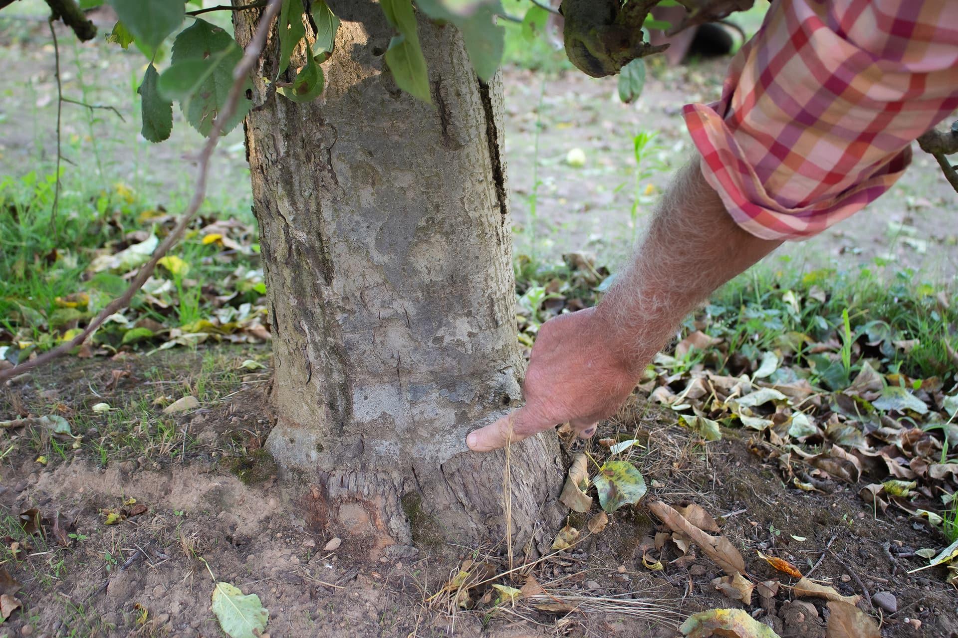 Manzano plantado con patrón franco