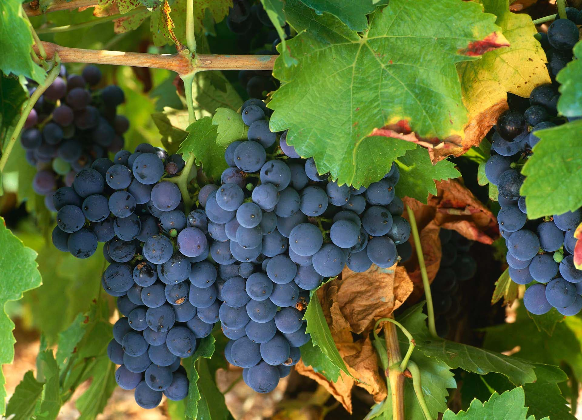 uva Mencia de vino Bierzo